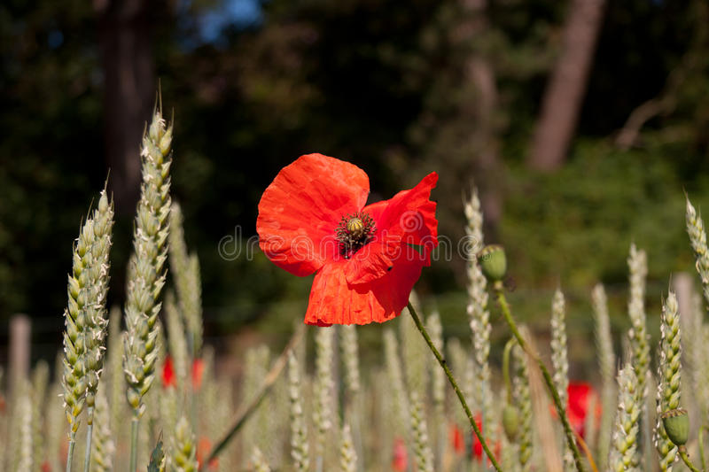 Fragile paper thin petals on scarlet poppy royalty free stock photography