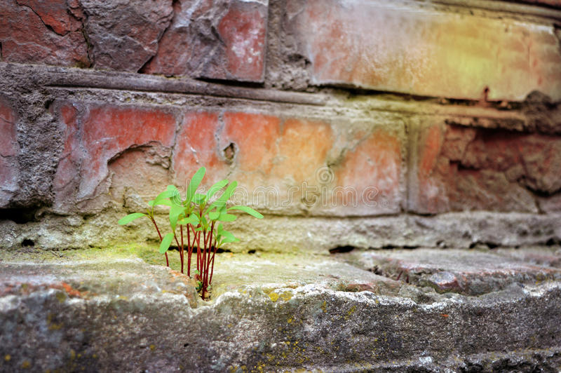 A fragile plant grows in stone. Perseverance wins all. Symbol for many things in life/ Persistence/ determination/ survival/ hope /resilience/ strength/ winning royalty free stock photos