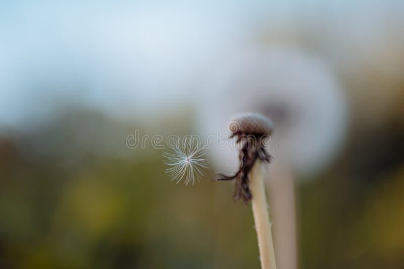 fragility Sementes de flor do dente-de-leão que fundem afastado Dente-de-leão selvagem no dia de verão Flor do Taraxacum na paisa foto de stock royalty free