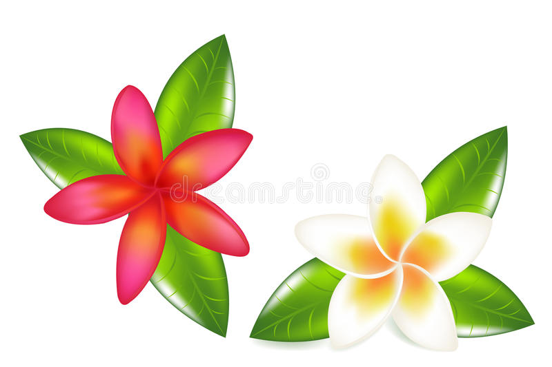 Fragipani With Leaves. Vector stock illustration