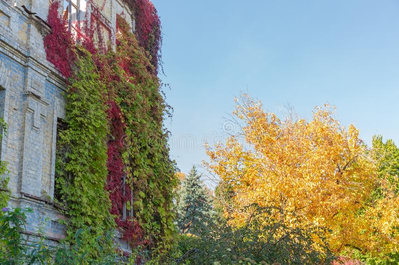 Fragment of abandoned building with climbing plants on its walls. Fragment of the abandoned building with wild climbing plants with bright varicolored autumn royalty free stock photo