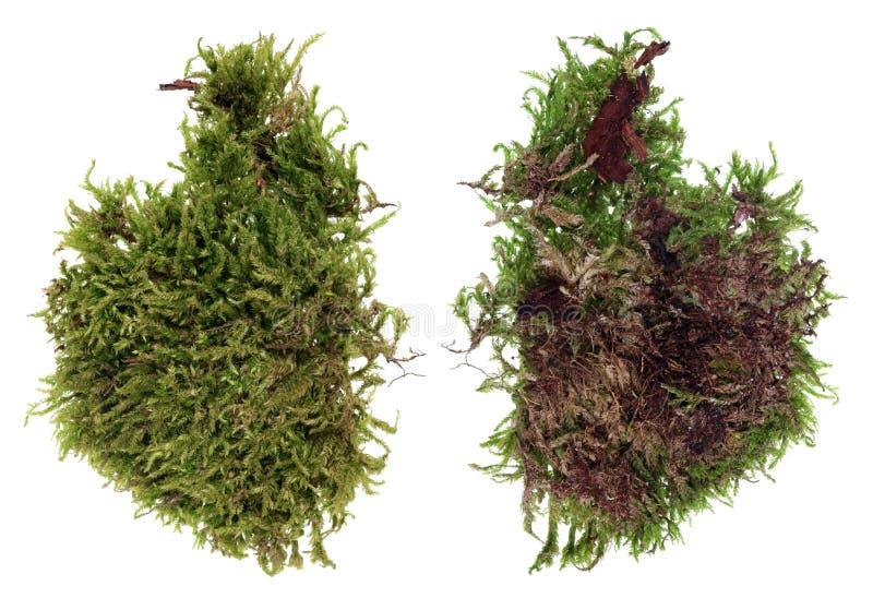 Fragment av den naturliga europeiska mossa för skoggräsplan och lavväxten isolerat arkivfoton