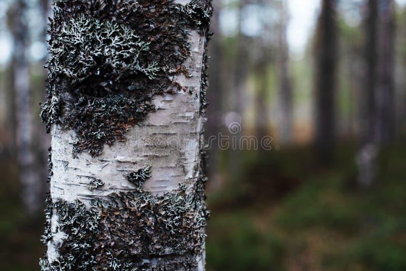Fragment av den vita björken, suddig bakgrund arkivfoton