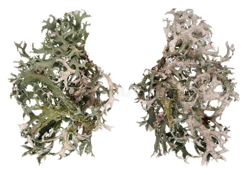 Fragment av för mossalav för naturlig skog den gråa växten Isolerad makro royaltyfria bilder