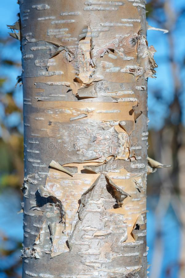 Fragment of birch tree trunk with flaky birch bark on autumn background in sunny weather. Natural wild environmental concept stock photos