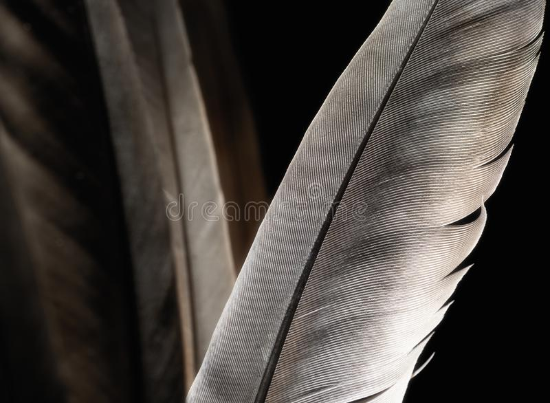 Bird`s feather, close-up. Fragment of bird`s feather, close-up. Black and white stock images