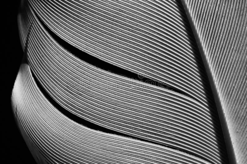 Bird`s feather, close-up. Fragment of bird`s feather, close-up. Black and white stock photography