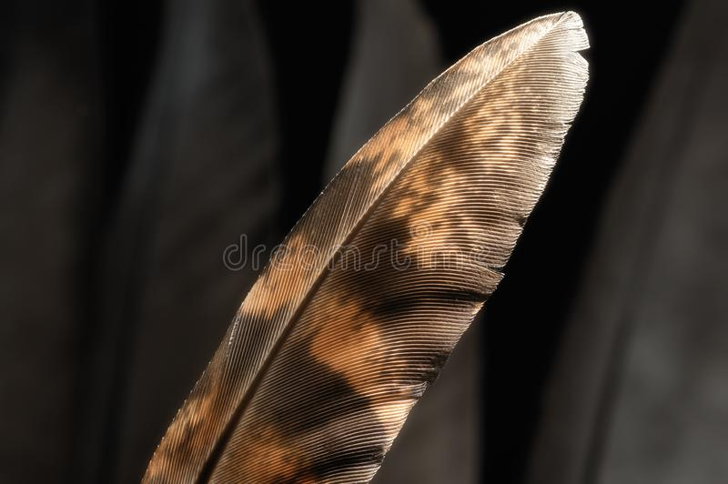 Bird`s feather, close-up. Fragment of bird`s feather, close-up. Black and white royalty free stock image