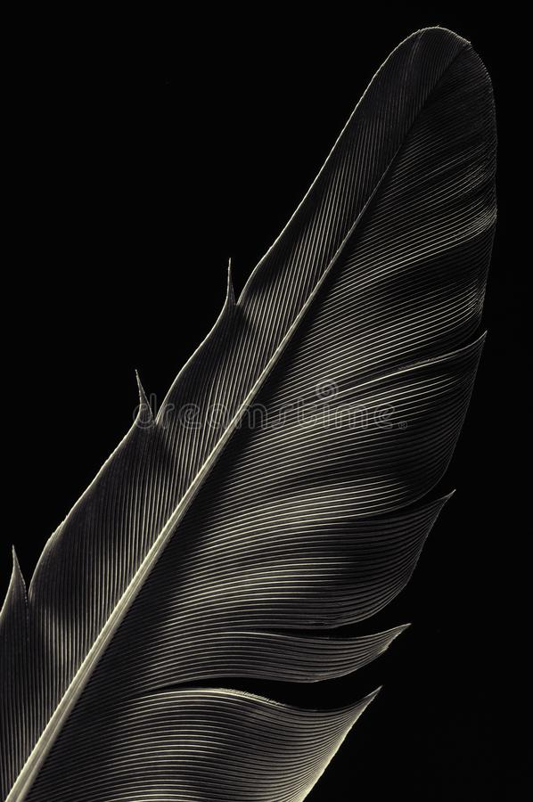 Fragment of bird`s feather, close-up. Black and white stock photography