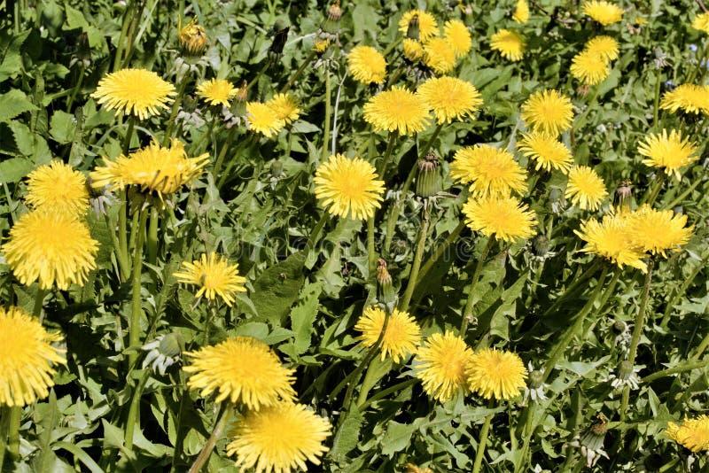 Fragment d'un champ vert pointillé avec les pissenlits jaunes images libres de droits