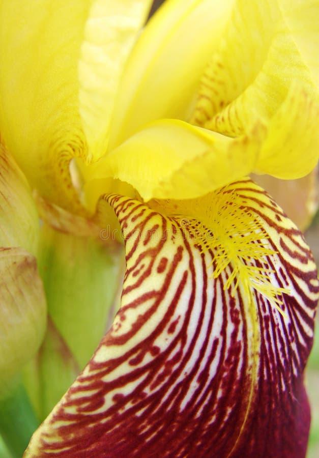 Fragment de fleur jaune-rouge d'iris photo libre de droits