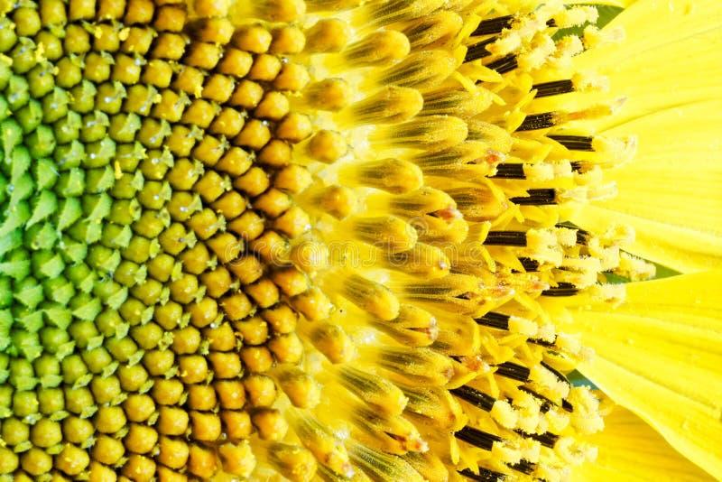 Fragment der Mitte einer blühenden Sonnenblume vor dem Auftritt von Samen Hintergrund des gelben Gr?ns lizenzfreie stockfotos