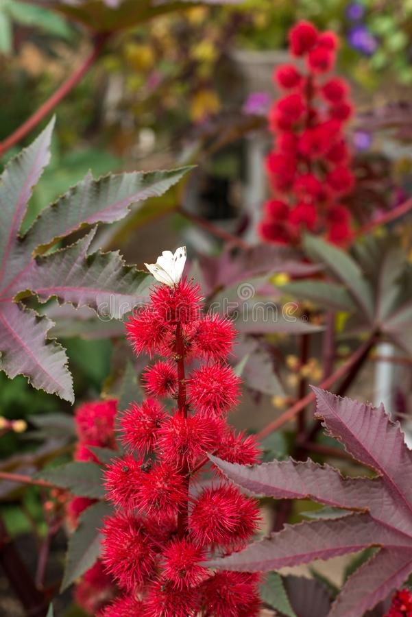 Flowering plant with a white butterfly sitting on a red thorny flower. Fragment of a flowering plant with a white butterfly sitting on a red thorny flower stock photos