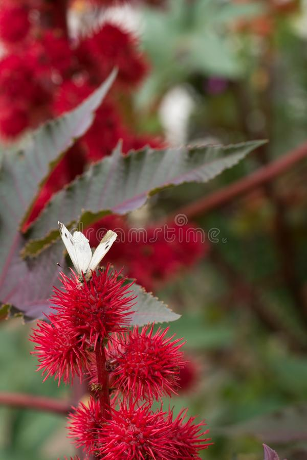 Close up shot of a flowering plant with a white butterfly sitting on a red thorny flower. Fragment of a flowering plant with a white butterfly sitting on a red stock photo