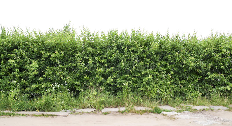 Download Fragment Of A Green Hedge From A Hawthorn Stock Photo - Image: 20085598