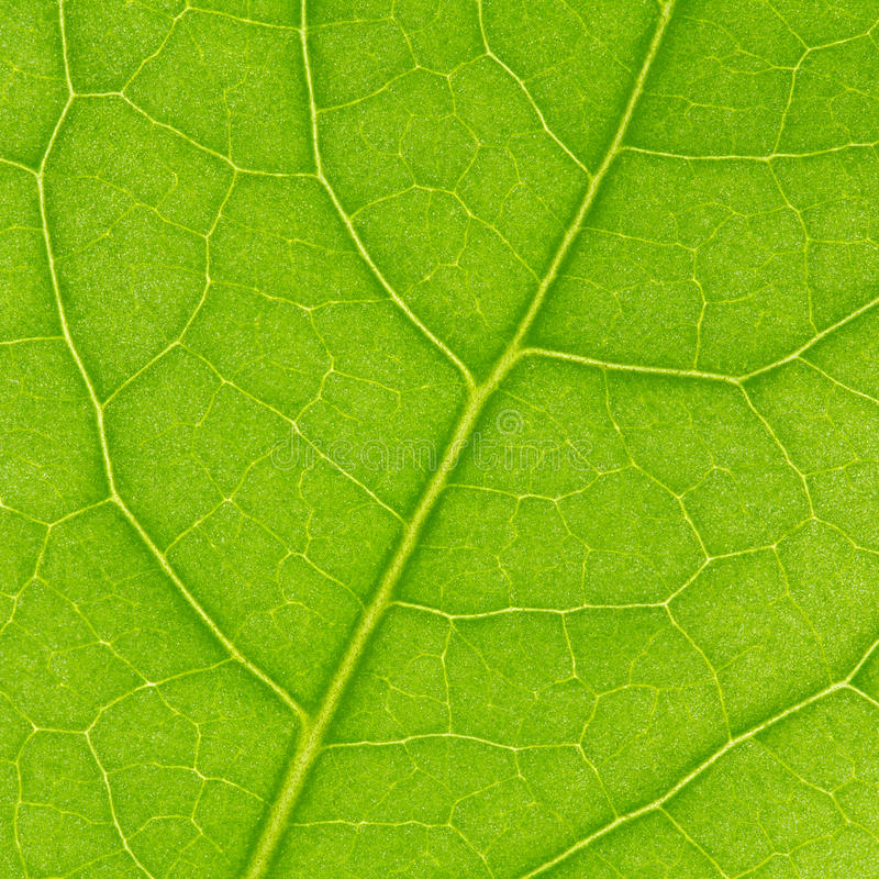Download Fragment of green leaf stock image. Image of background - 24416011