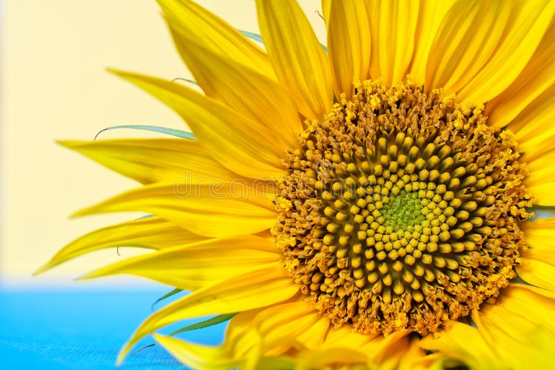 Fragment of the main part of a blooming sunflower, petals and core, on a blue and cream background. Daylight stock image