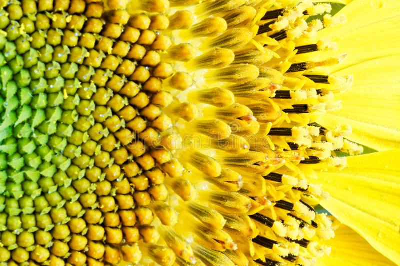 Fragment of the middle of a blooming sunflower before the appearance of seeds. Yellow green background royalty free stock photos
