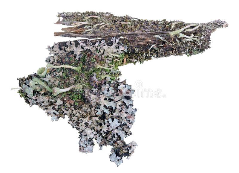 Fragment of natural european forest blue moss lichen plant on pine tree bark. Isolated royalty free stock photos