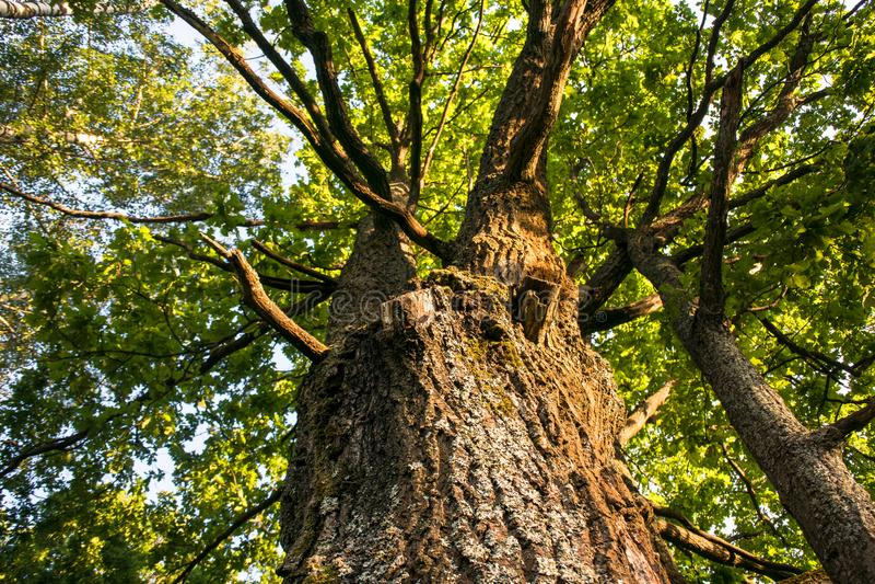 Fragment van de reusachtige boomstam en de weelderige kroon van een overblijfsel eiken boom onder de gouden zonnestralen stock afbeelding