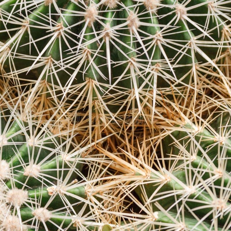 Fragment van drie cactussen met scherpe prikkelingen royalty-vrije stock foto's
