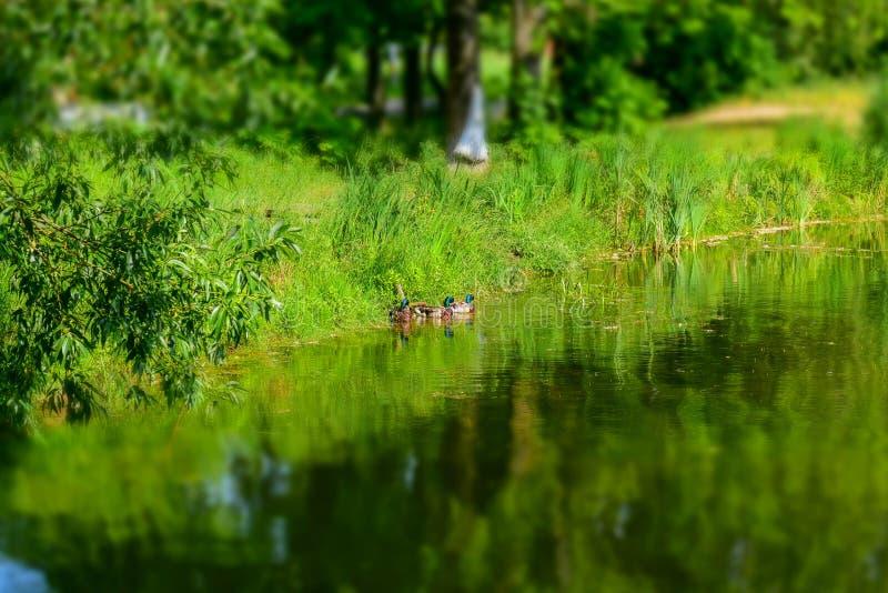 Fragment van een vijver in het Park Op een zonnige de zomerdag Drie eenden in de afstand Selectieve nadruk stock afbeeldingen