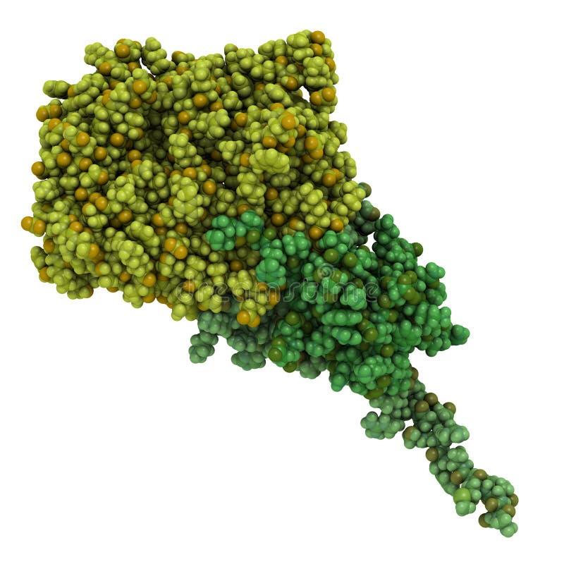 fragmento Amperio-activado de la cinasa de proteína (AMPK) con el límite del amperio. Amperio stock de ilustración