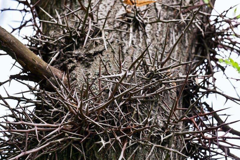 Fragmento da haste da árvore do espinho imagem de stock