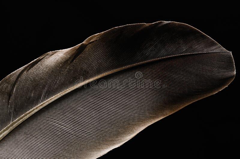 Fragmento da pena do ` s do pássaro, close-up fotografia de stock