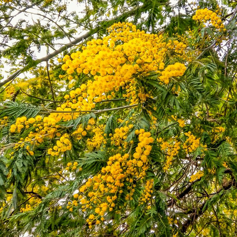 Fragmento de um arbusto de uma mimosa com as flores amarelas demitidas Close-up foto de stock royalty free