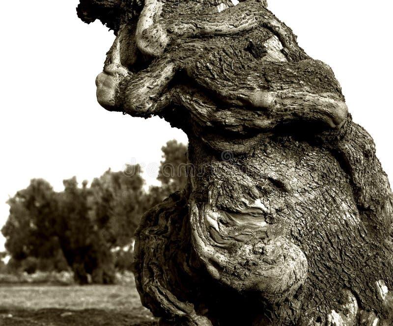 Fragmento de um tronco velho das azeitonas no italiano Apulia imagens de stock royalty free