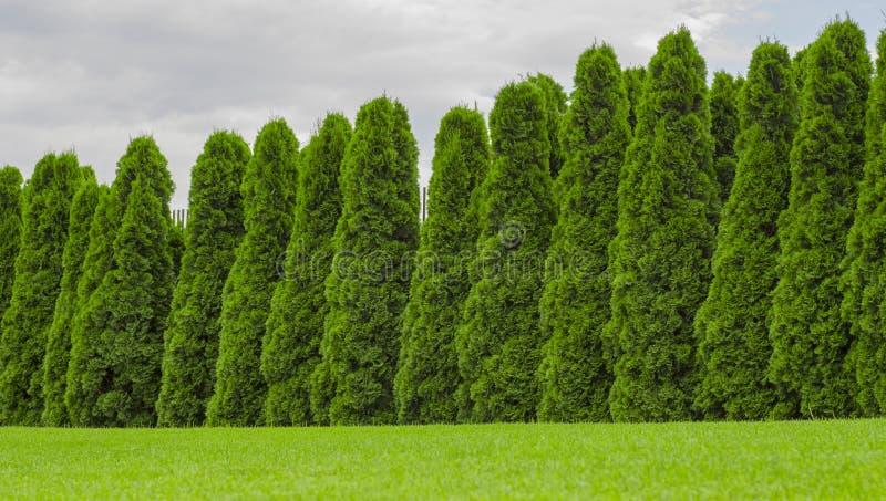 Fragmento de uma conversão rural da cerca das plantas sempre-verdes o Thuja fotos de stock