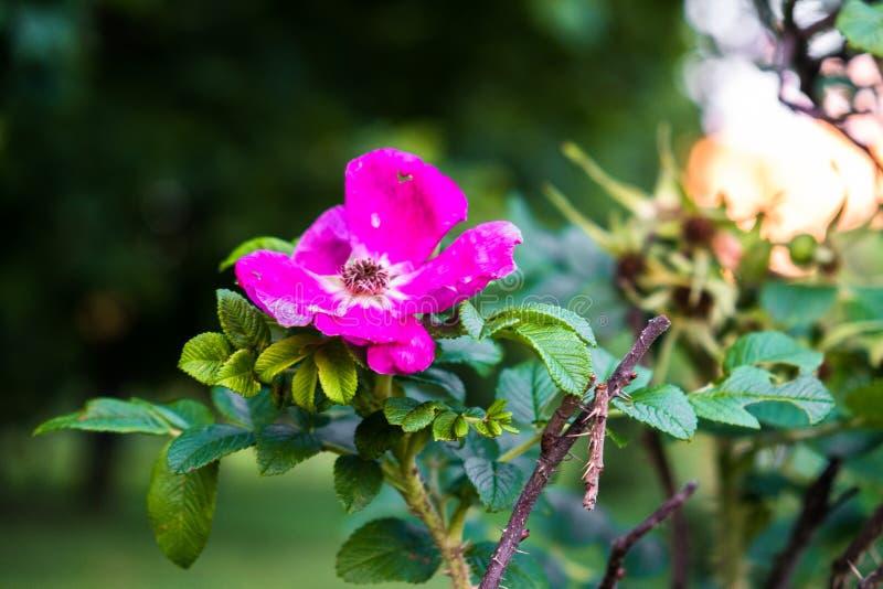 Fragmento de un arbusto enorme del escaramujo, tachonado rico con las flores rosadas bajo luz del sol de oro Amor, felicidad, cas imagen de archivo libre de regalías