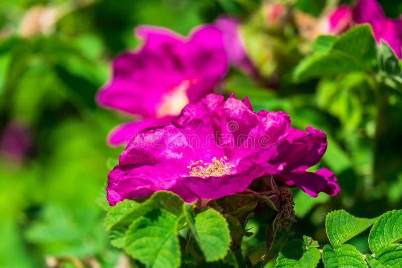 Fragmento de un arbusto enorme del escaramujo, tachonado rico con las flores rosadas bajo luz del sol de oro Amor, felicidad, cas fotografía de archivo