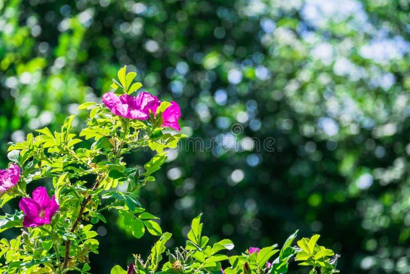 Fragmento de un arbusto enorme del escaramujo, tachonado rico con las flores rosadas bajo luz del sol de oro Amor, felicidad, cas fotos de archivo