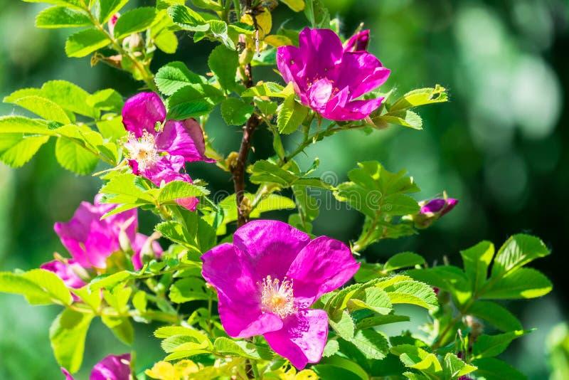 Fragmento de un arbusto enorme del escaramujo, tachonado rico con las flores rosadas bajo luz del sol de oro Amor, felicidad, cas fotos de archivo libres de regalías