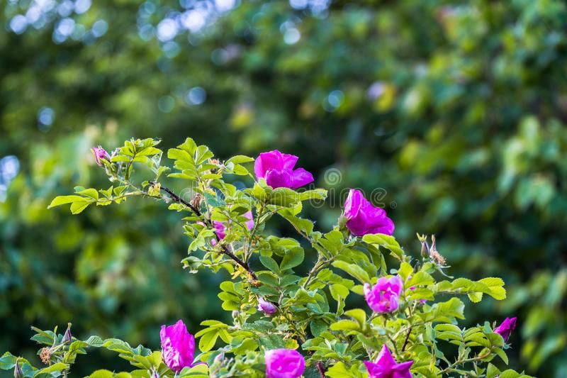 Fragmento de un arbusto enorme del escaramujo, tachonado rico con las flores rosadas bajo luz del sol de oro Amor, felicidad, cas fotografía de archivo libre de regalías