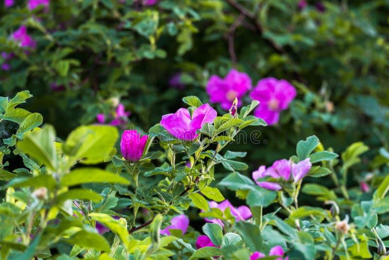 Fragmento de un arbusto enorme del escaramujo, tachonado rico con las flores rosadas bajo luz del sol de oro Amor, felicidad, cas imagenes de archivo