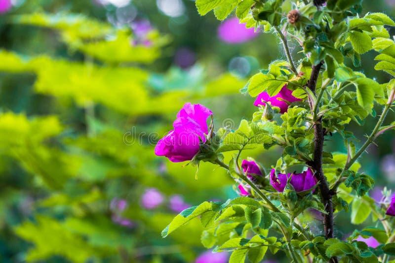 Fragmento de un arbusto enorme del escaramujo, tachonado rico con las flores rosadas bajo luz del sol de oro Amor, felicidad, cas imágenes de archivo libres de regalías