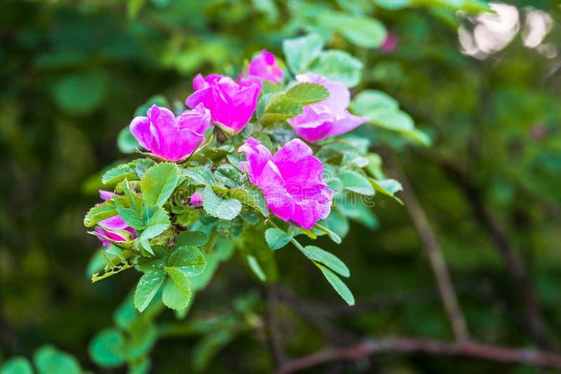 Fragmento de un arbusto enorme del escaramujo, tachonado rico con las flores rosadas bajo luz del sol de oro Amor, felicidad, cas foto de archivo
