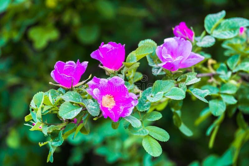 Fragmento de un arbusto enorme del escaramujo, tachonado rico con las flores rosadas bajo luz del sol de oro Amor, felicidad, cas foto de archivo libre de regalías