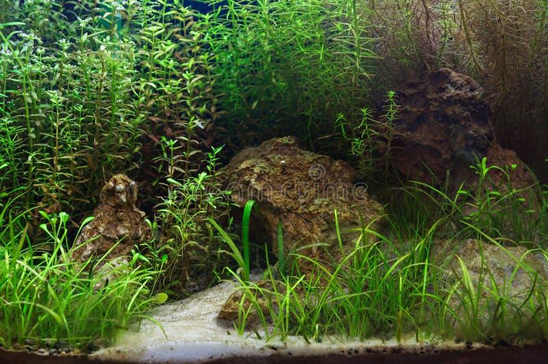 Fragmento del acuario plantado imagen de archivo