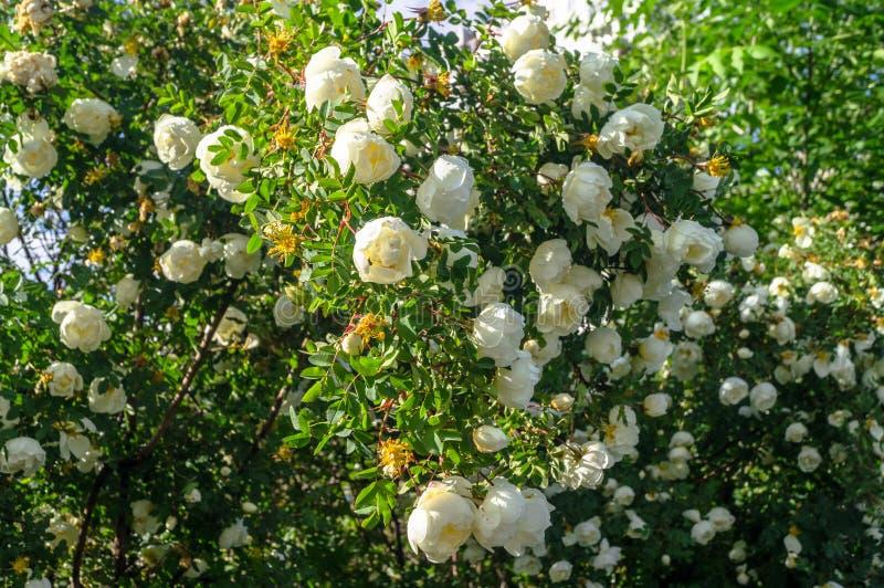 Fragmento del arbusto enorme del dogrose, tachonado rico con las flores blancas imágenes de archivo libres de regalías