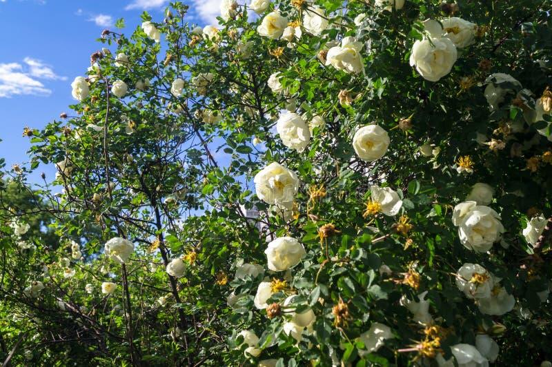 Fragmento del arbusto enorme del dogrose, tachonado rico con las flores blancas fotos de archivo libres de regalías