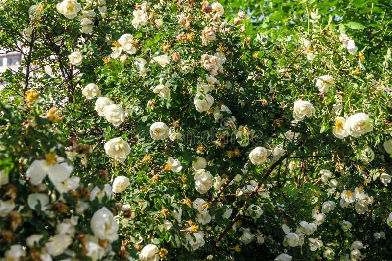 Fragmento del arbusto enorme del dogrose, tachonado rico con las flores blancas imagen de archivo libre de regalías
