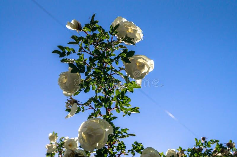 Fragmento del arbusto enorme del dogrose, tachonado rico con las flores blancas foto de archivo libre de regalías
