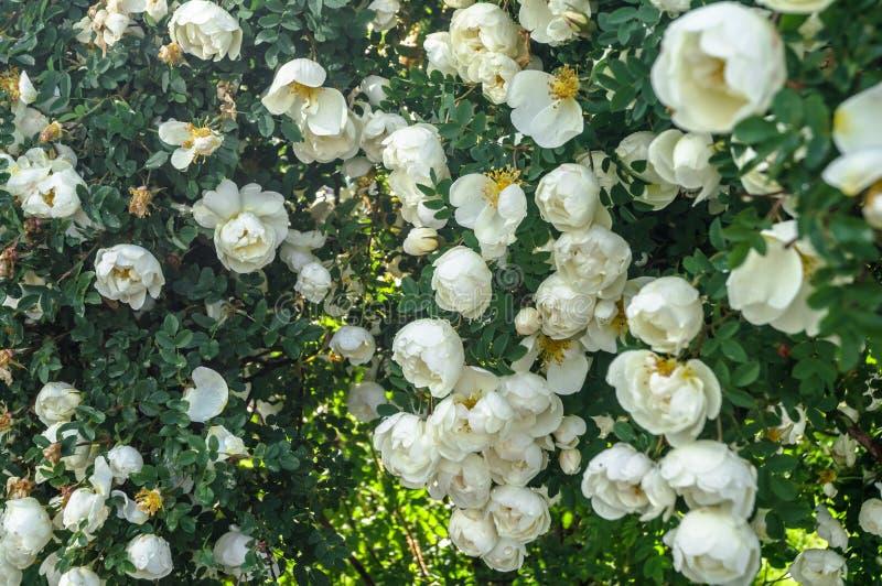 Fragmento del arbusto enorme del dogrose, tachonado rico con las flores blancas fotografía de archivo libre de regalías