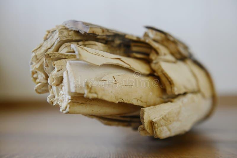 Fragmento gigantesco del colmillo imágenes de archivo libres de regalías