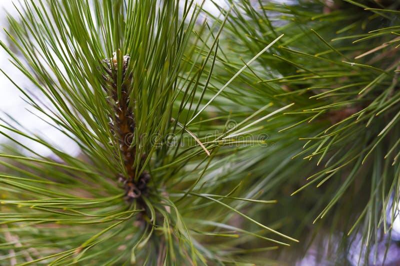 Fragmentos de un cedro de la rama de árbol fotografía de archivo
