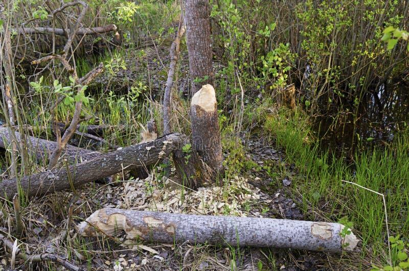 Fragments d'arbres de castors d'Aspen photos libres de droits